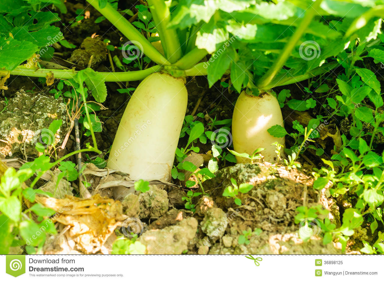Radish Grown In The Ground Royalty Free Stock Photo.
