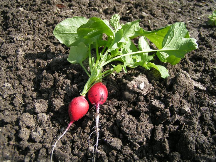 1000+ images about grow radishes on Pinterest.