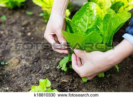 Stock Photography of Cultivate lettuce k18810330.
