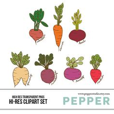 Vegetable Color Illustrations Cultivated Radishes.