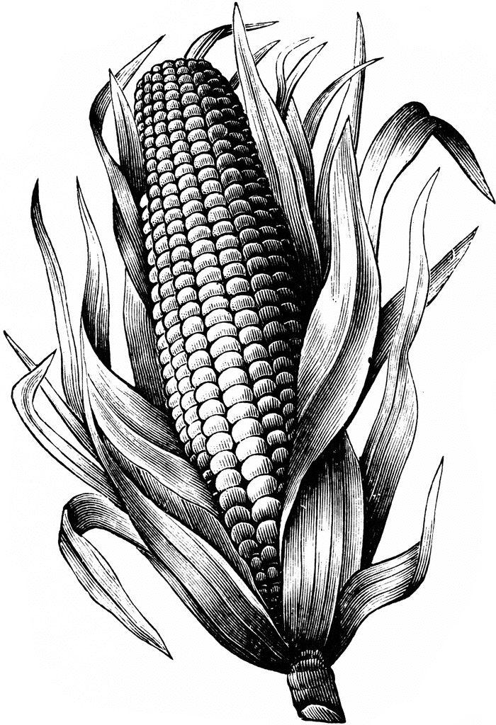 17 meilleures idées à propos de Maize Plant sur Pinterest.