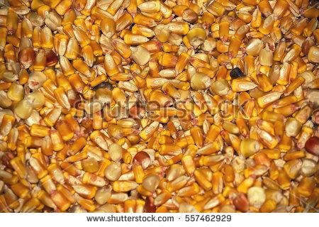 """maize Culture"" Stock Photos, Royalty."