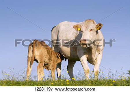 Picture of Blonde d'Aquataine calf suckling mother, on upland.