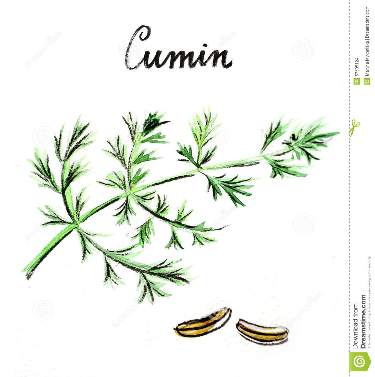 Cumin Seeds Stock Illustrations.