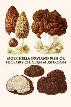 Morchella hortensis.