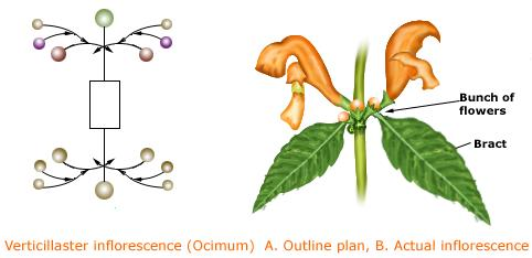 Special Types of Inflorescence.
