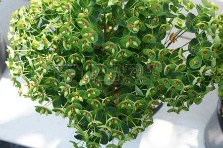 Perennial Evergreen Images, Stock Pictures, Royalty Free Perennial.