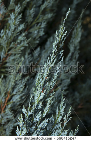 Cupressaceae Stock Photos, Royalty.