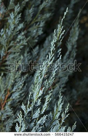 Cupressaceae Stock Photos, Royalty.