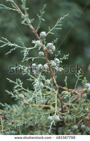 Cupressus arizonica clipart #12