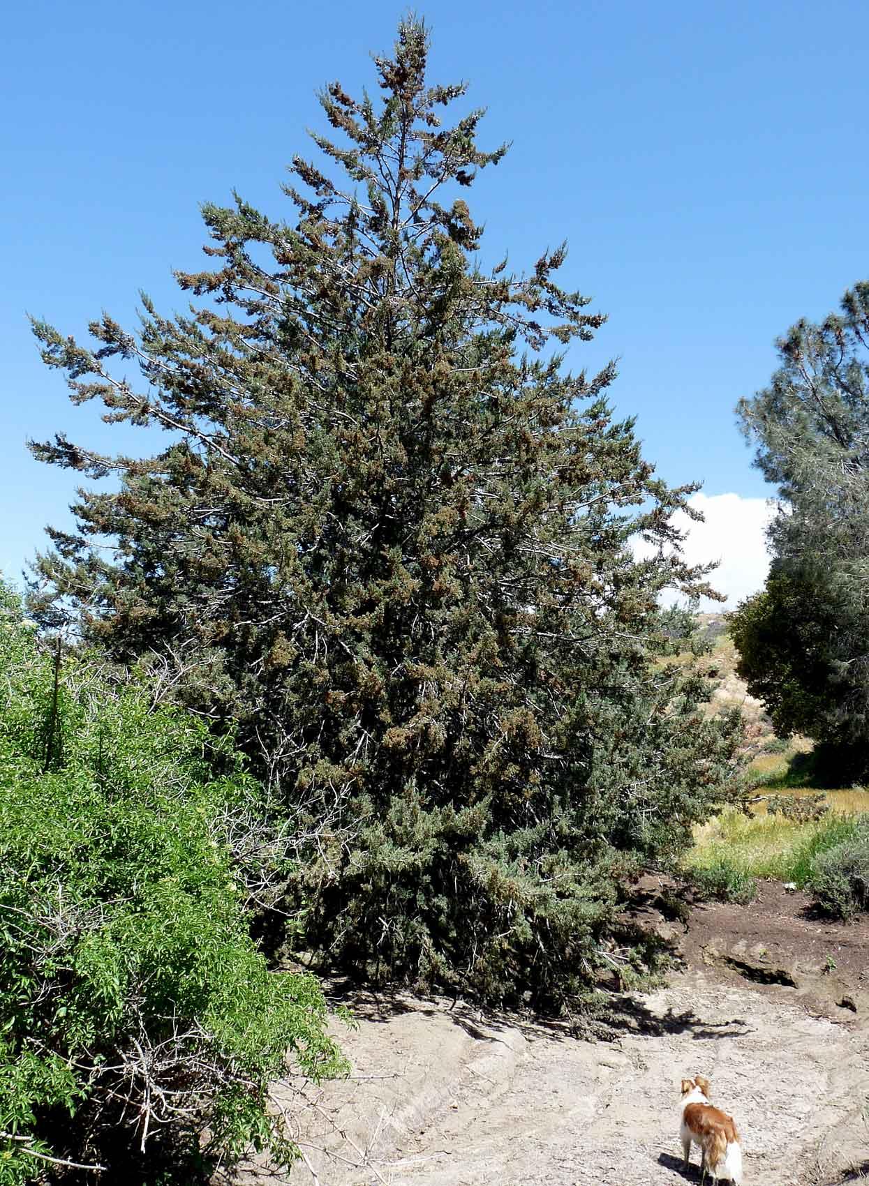 Cupressus arizonica clipart #4
