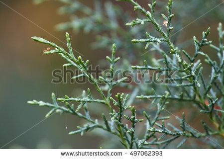 Cupressus arizonica clipart #17