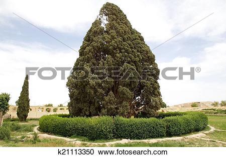 Stock Photography of Mediterranean Cypress (Cupressus sempervirens.