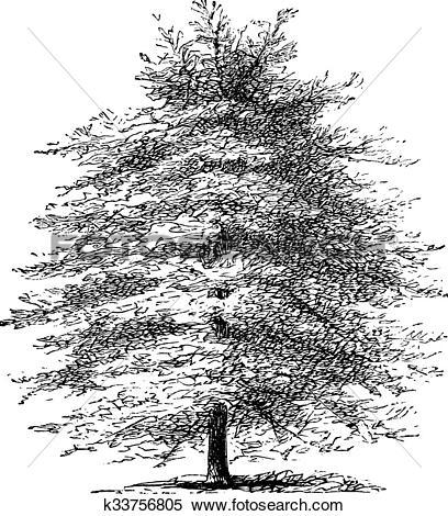 Clipart of Italian Cypress or Cupressus sempervirens horizontalis.