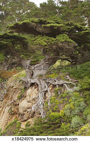 Stock Image of 'Old veteran' Monterey cypress tree (Cupressus.