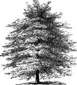Clip Art of Mediterranean Cypress or Italian Cypress or Tuscan.
