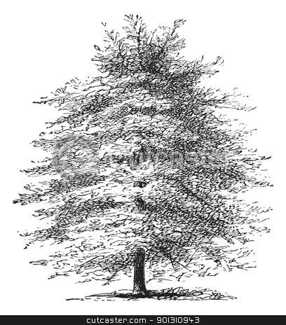 Italian Cypress or Cupressus sempervirens horizontalis, vintage.