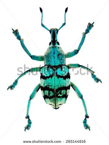 Curculionidae Stock Vectors & Vector Clip Art.