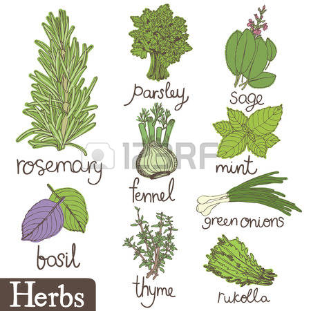 2,227 Parsley Herb Stock Vector Illustration And Royalty Free.