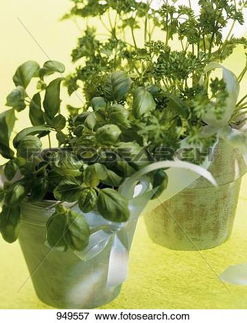 Picture of Basil and curled parsley in terracotta pots 949557.
