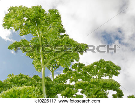 Picture of Curly parsley plants in herb garden against sky.