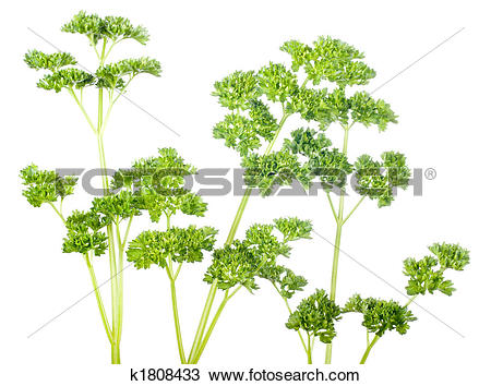 Stock Photo of curled parsley k1808433.