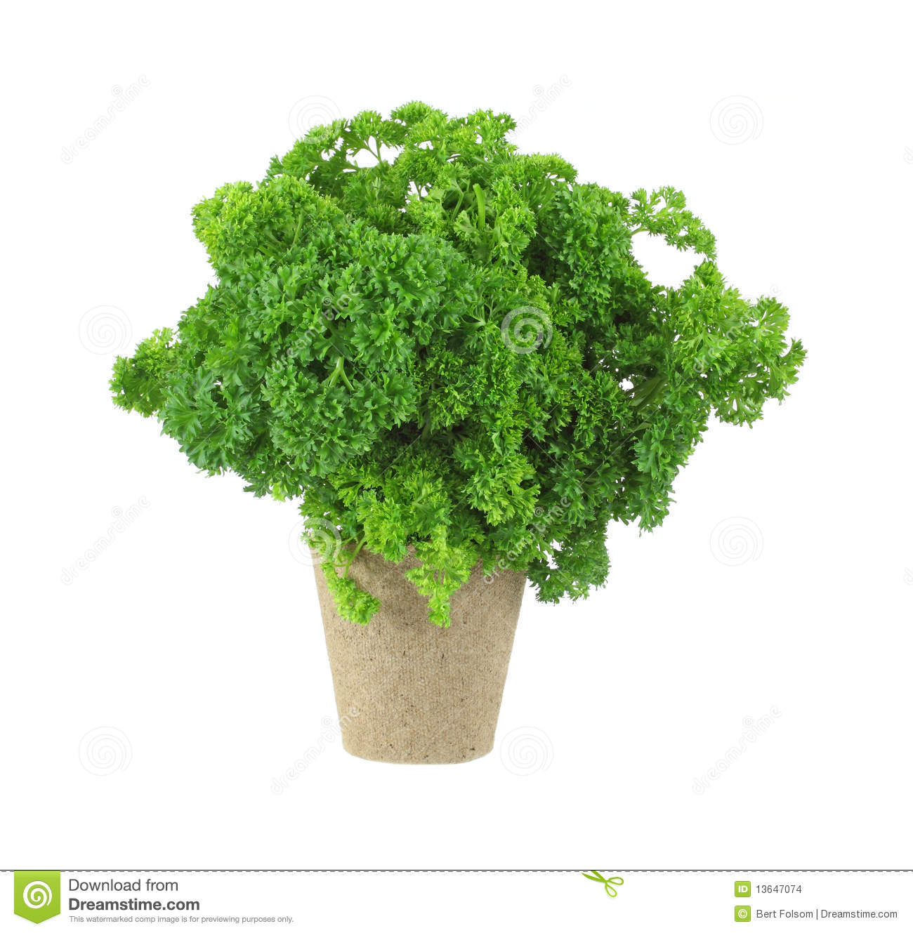 Curly Parsley Herb In Peat Pot Stock Images.