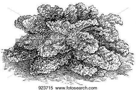 Stock Illustration of Curly kale (illustration) 923715.