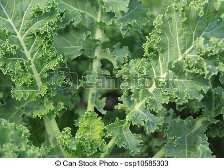 Stock Photography of Curly Kale.