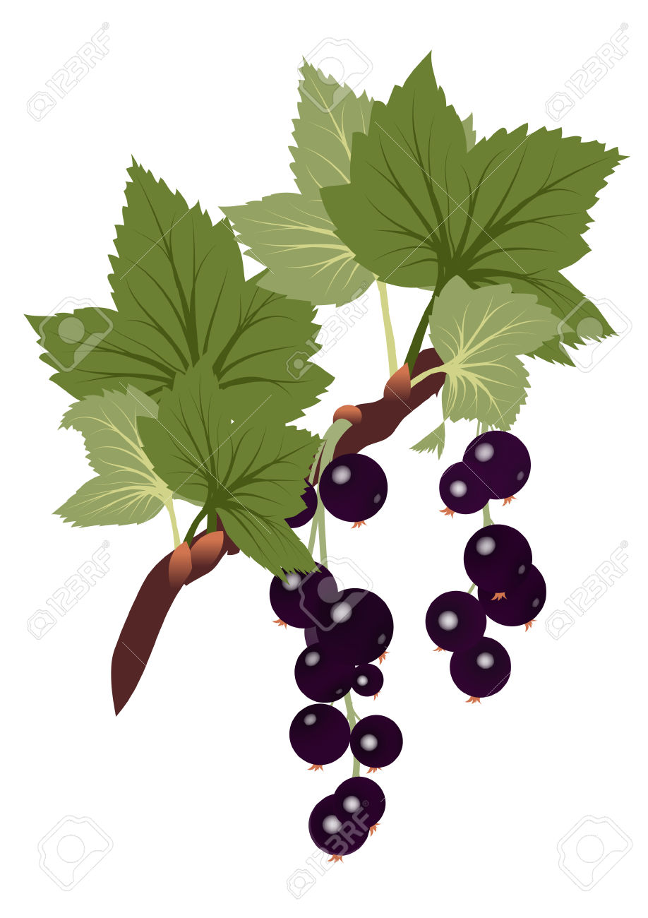 Black Currants Branch With Leaves On Transparent Background.