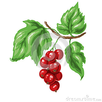 Red Currant Bush Isolated Stock Illustrations, Vectors, & Clipart.