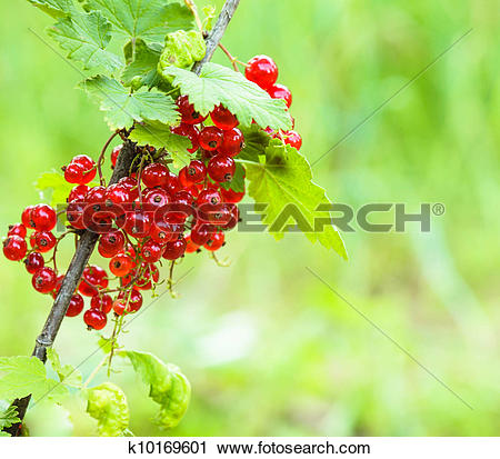 Stock Photography of Red currant bush k10169601.