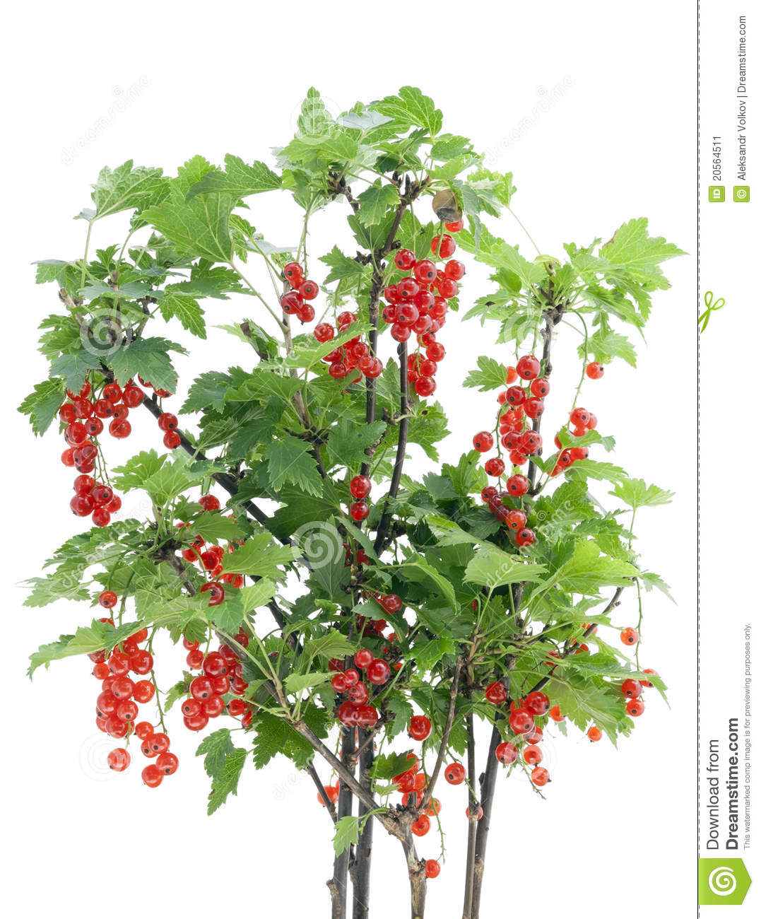 Red Currant Bush Isolated Stock Image.