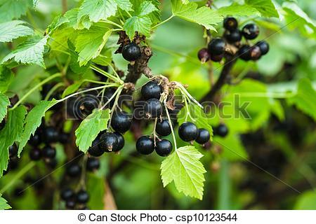 Stock Photo of Blackcurrant bush.