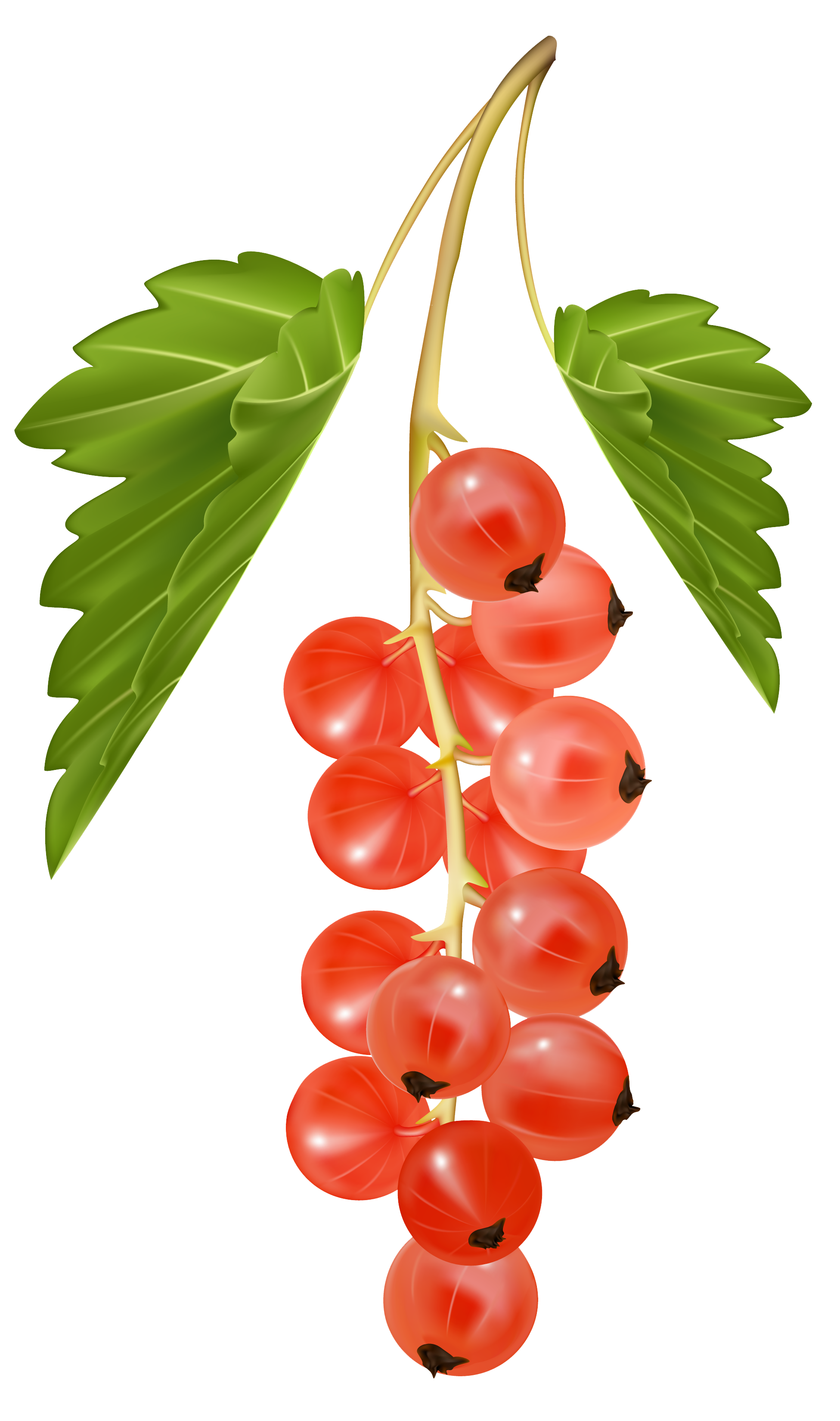 Red Currant PNG Vector Clipart Image.