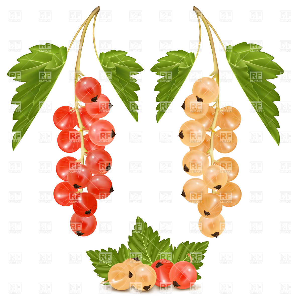 Red and white currant.