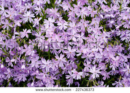 Phlox Cushion Stock Photos, Royalty.