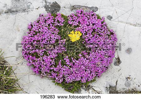 Stock Photo of Cushion Pink, Moss Campion (Silene acaulis.