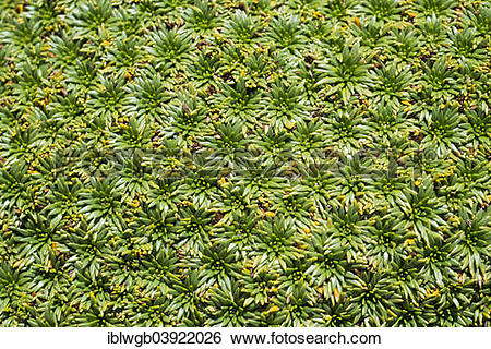 """Stock Images of """"Plant cushion on a mountain meadow, Cordillera."""