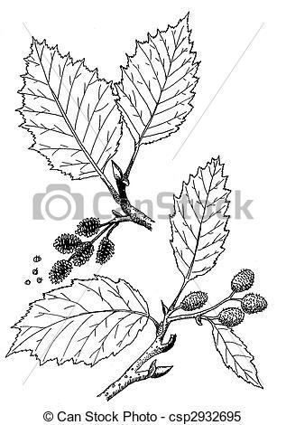 Alder Clip Art and Stock Illustrations. 362 Alder EPS.