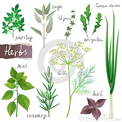 Herbs Stock Illustrations.