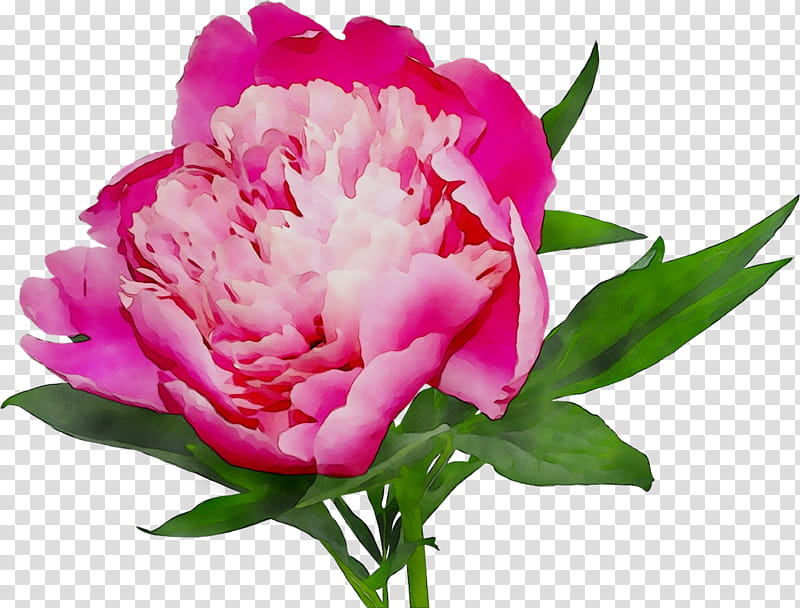 Floral Flower, Peony, Cut Flowers, Online Shopping, White.