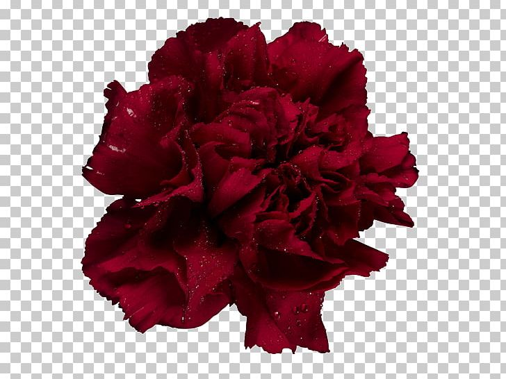 Garden Roses Carnation Cut Flowers Adobe Photoshop PNG.
