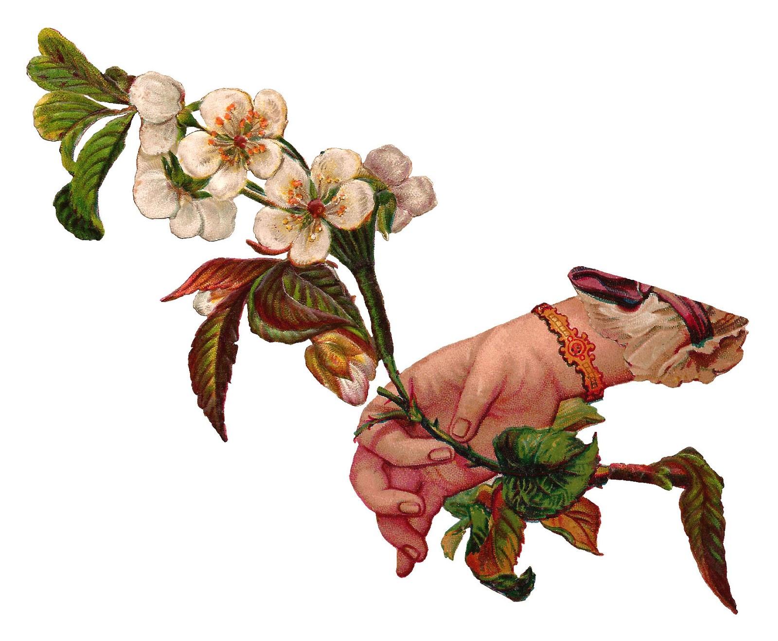 Antique Images: Digital Illustration Flower and Hand Dogwood.