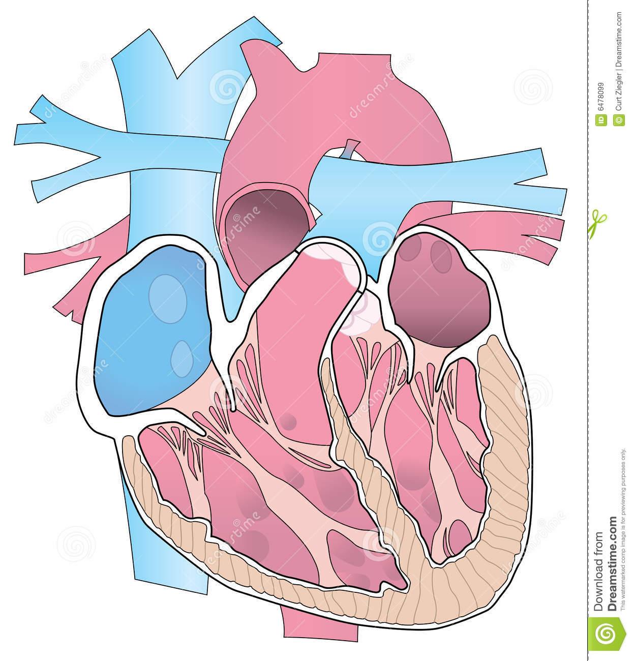 Heart Cutaway Royalty Free Stock Photo.