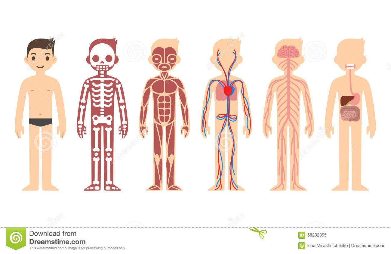 Cutaway body clipart clipground anatomy stock illustrations ccuart Images