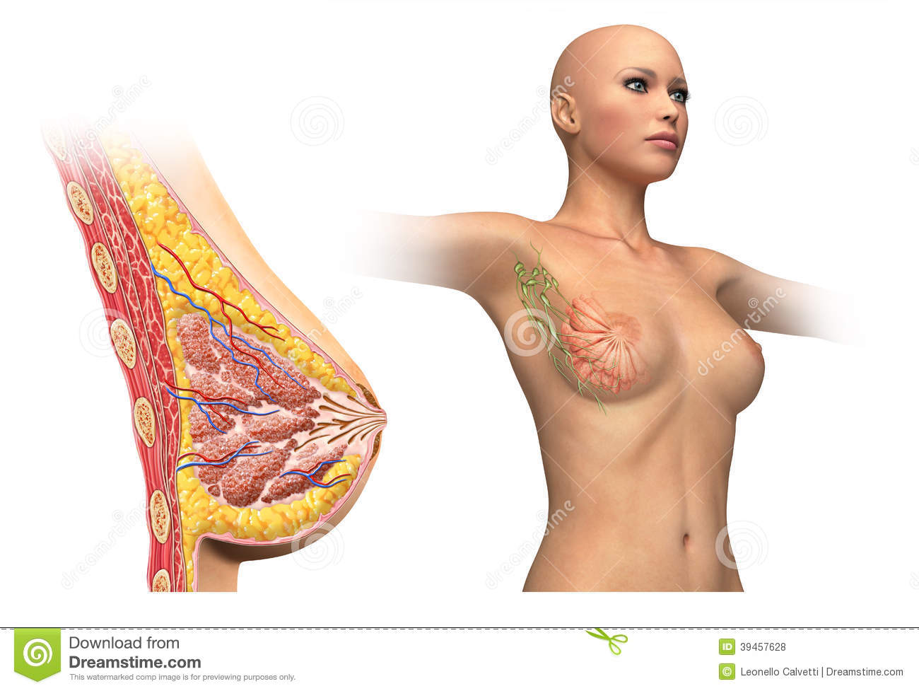 Anatomy Female Reproductive System, Cutaway. Royalty Free Stock.