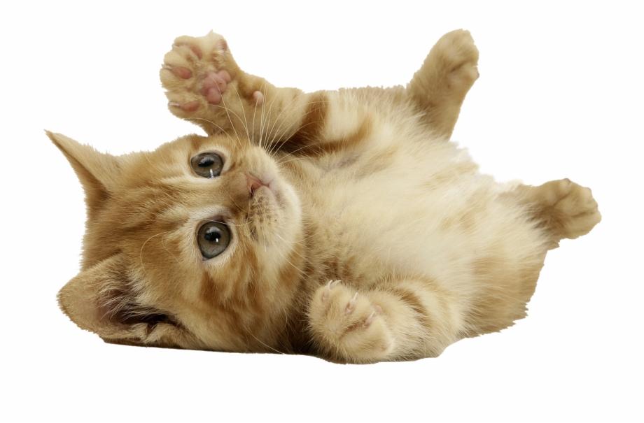 Download Cat Png.