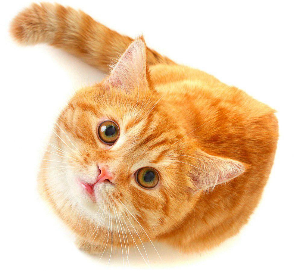 Cute Cat PNG Free Download.