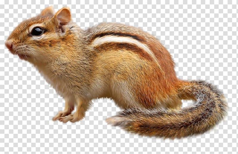 Brown squirrel, Chipmunk Squirrel , Cute little squirrel.
